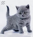 Элитный питомник британских кошек г.Москвы.  Мы предлагаем котят.