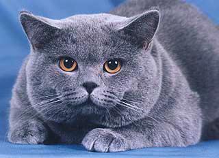Голубой британский кот приглашает на вязки