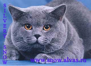 ���������� ��� Gr.I.Ch. Armstrong Silvery Snow.