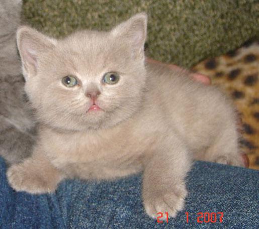 Продажа котят элитных кошек: британские кошки, коты, киски.