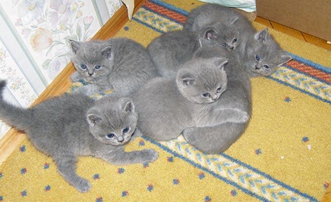 Купить британских котят, шотландских котят, вислоухих котят, вязка котов. ... -британца