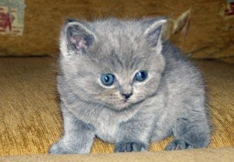 Британские котята. Питомник Silvery Snow Koteika-7