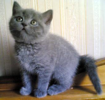 Британские котята есть в питомнике ...