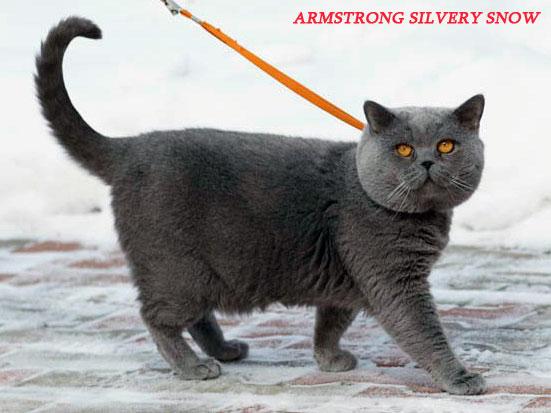 Питомник британских кошек SILVERY SNOW г.Москва Armstrong