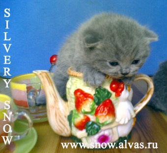 Питомник британских кошек Silvery Snow - британские  котята голубого и лилового окрасов, вязки