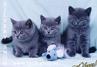 Британские коты и кошки фото