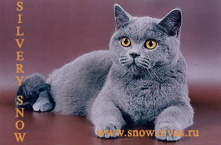 Британская кошка katarina victoria silvery snow