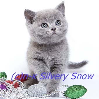 Питомник британских кошек Silvery Snow.