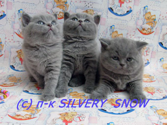 Британские  котята .  Питомник Silvery Snow
