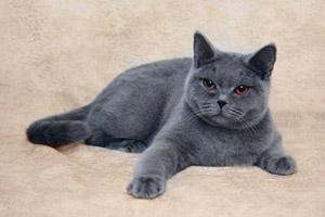 Британская вислоухая кошка фото  Британские