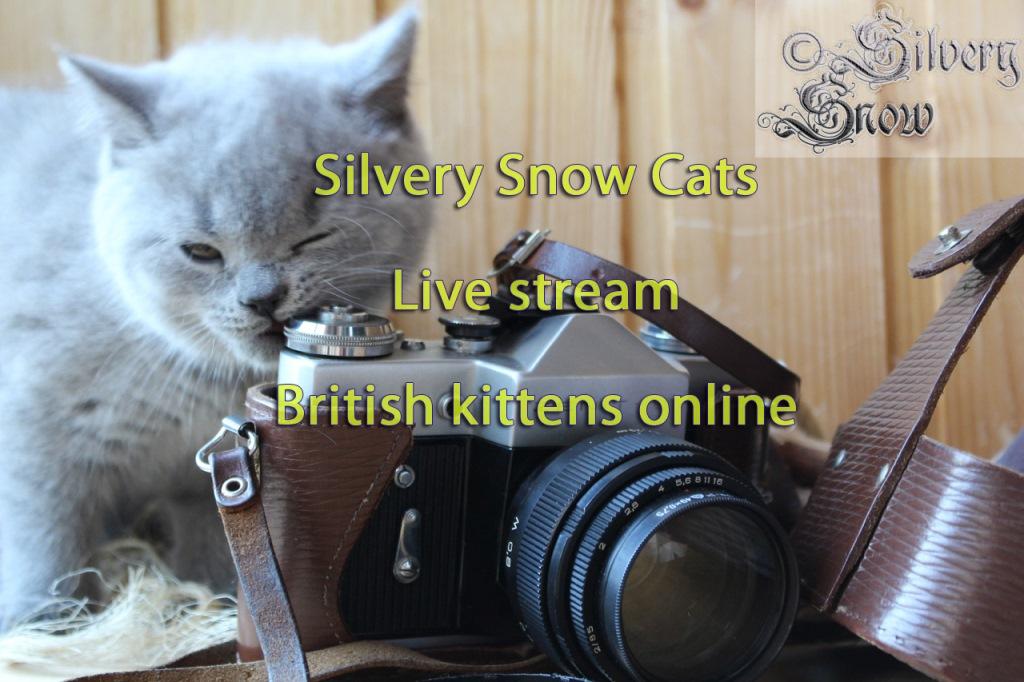 Британские котята. видео